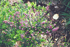 Furzey Heath (Erica carnea 'Furzey') at Plant World