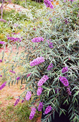 Charming Butterfly Bush (Buddleia davidii 'Charming') at Plant World