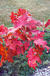 Red Oak (Quercus rubra) at Plant World