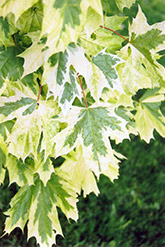 Harlequin Norway Maple (Acer platanoides 'Drummondii') at Plant World