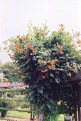 Trumpetvine (Campsis radicans) at Plant World