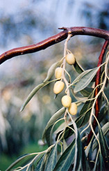 Russian Olive (Elaeagnus angustifolia) at Plant World