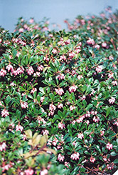 Vancouver Jade Bearberry (Arctostaphylos uva-ursi 'Vancouver Jade') at Plant World