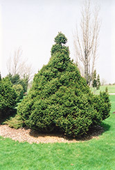 Ohlendorf Spruce (Picea abies 'Ohlendorfii') at Plant World
