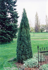 Medora Juniper (Juniperus scopulorum 'Medora') at Plant World