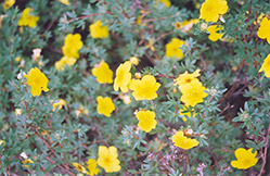 Yellow Gem Potentilla (Potentilla fruticosa 'Yellow Gem') at Plant World