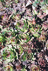 Kalinda Hens And Chicks (Sempervivum 'Kalinda') at Plant World