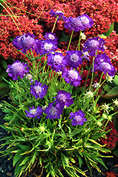 Ultra Violet Pincushion Flower (Scabiosa caucasica 'Ultra Violet') at Plant World