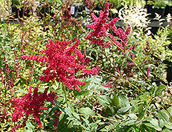 Glow Astilbe (Astilbe x arendsii 'Glow') at Plant World