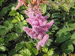 Heart and Soul Astilbe (Astilbe 'Heart and Soul') at Plant World