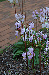 Shooting Star (Dodecatheon meadia) at Plant World