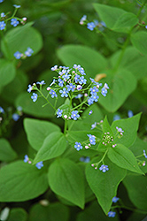 Siberian Bugloss (Brunnera macrophylla) at Plant World