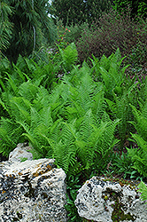 Ostrich Fern (Matteuccia strutheriopteris) at Plant World