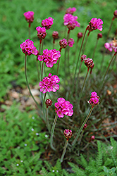 Dusseldorf Pride Sea Thrift (Armeria maritima 'Dusseldorf Pride') at Plant World