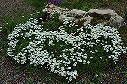 Candytuft (Iberis sempervirens) at Plant World
