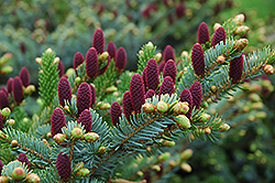Red Cone Spruce (Picea abies 'Acrocona') at Plant World