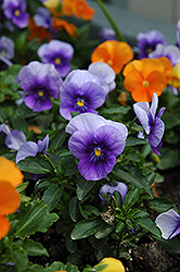 Velour Blue Pansy (Viola 'Velour Blue') at Plant World