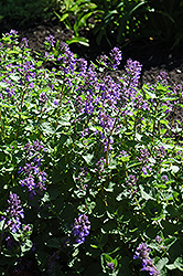 Dropmore Blue Catmint (Nepeta x faassenii 'Dropmore Blue') at Plant World