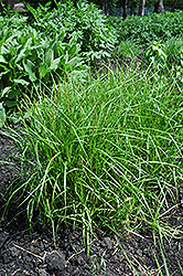 Palm Sedge (Carex muskingumensis) at Plant World