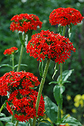 Maltese Cross (Lychnis chalcedonica) at Plant World
