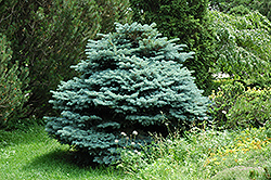 Globe Blue Spruce (Picea pungens 'Globosa') at Plant World