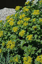 Russian Stonecrop (Sedum kamtschaticum) at Plant World