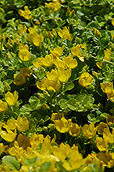 Creeping Jenny (Lysimachia nummularia) at Plant World