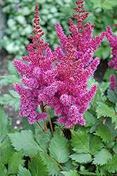 Visions Astilbe (Astilbe chinensis 'Visions') at Plant World