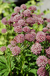 Hadspen Blood Masterwort (Astrantia major 'Hadspen Blood') at Plant World