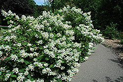 Pink Diamond Hydrangea (Hydrangea paniculata 'Pink Diamond') at Plant World