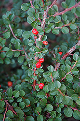 Hesse Cotoneaster (Cotoneaster 'Hessei') at Plant World