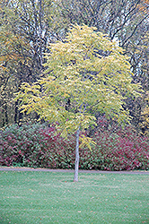 Kentucky Coffeetree (Gymnocladus dioicus) at Plant World