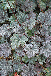 Frosted Violet Coral Bells (Heuchera 'Frosted Violet') at Plant World