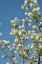 Allegheny Serviceberry (Amelanchier laevis) at Plant World