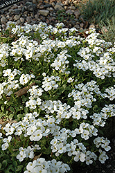 Snowcap Wall Cress (Arabis caucasica 'Snowcap') at Plant World
