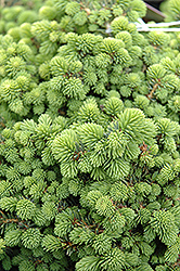Little Gem Spruce (Picea abies 'Little Gem') at Plant World