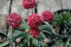 Joystick Red Sea Thrift (Armeria pseudarmeria 'Joystick Red') at Plant World