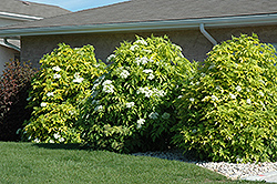 Golden American Elder (Sambucus canadensis 'Aurea') at Plant World