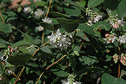 Snowberry (Symphoricarpos albus) at Plant World