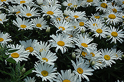 Silver Princess Shasta Daisy (Leucanthemum x superbum 'Silver Princess') at Plant World