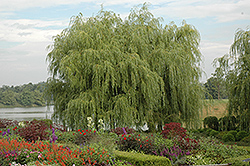 Golden Weeping Willow (Salix alba 'Tristis') at Plant World