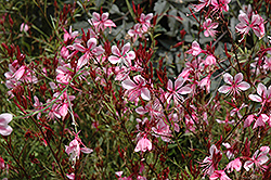 Butterfly Gaura (Gaura lindheimeri) at Plant World