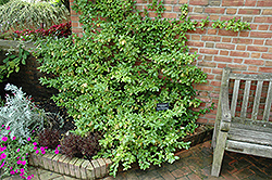 Sarcoxie Wintercreeper (Euonymus fortunei 'Sarcoxie') at Plant World