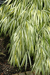 Golden Variegated Hakone Grass (Hakonechloa macra 'Aureola') at Plant World