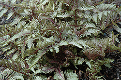 Red Beauty Painted Fern (Athyrium nipponicum 'Red Beauty') at Plant World