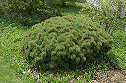 Slowmound Mugo Pine (Pinus mugo 'Slowmound') at Plant World