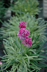 Nifty Thrifty Sea Thrift (Armeria maritima 'Nifty Thrifty') at Plant World
