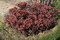 Purple Emperor Stonecrop (Sedum 'Purple Emperor') at Plant World