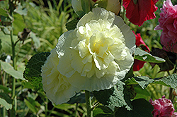 Chater's Double Yellow Hollyhock (Alcea rosea 'Chater's Double Yellow') at Plant World