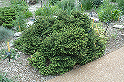 Pumila Norway Spruce (Picea abies 'Pumila') at Plant World